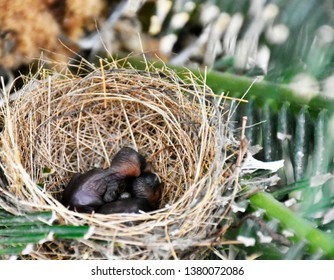Small baby birds, gray-black skin, no feather and eyes closed, placed in the bird's nest that weave from dry grass. The nest is built on a brown palm tree with green leaves.
