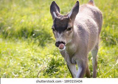 Small baby deer with tongue licking  walking on green grass