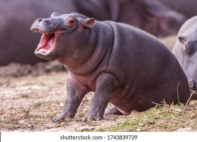 Small baby Hippo sitting outside the water with mouth open Kruger Park South Africa