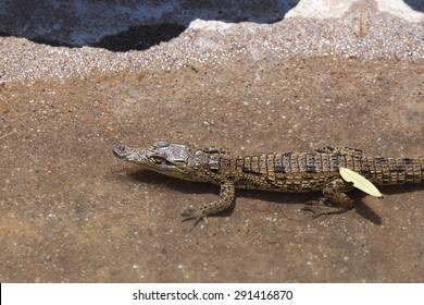 small baby of a Nile Crocodile Crocodylus niloticus, Victoria Falls