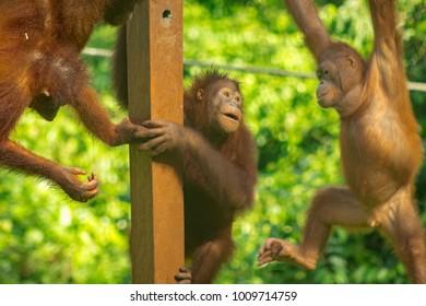 Small baby orangutans are playing around at the Sepilok Orangutan Rehabilitation Centre in Sabah, Borneo, Malaysia