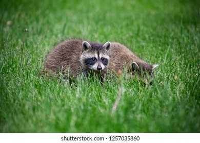Small baby raccon foraging for food in the grass