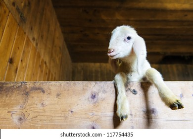 small baby sheep or lamb looking over wooden board