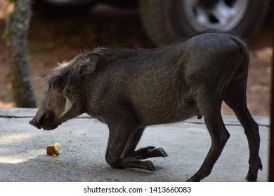 Small Baby Warthog eating food pellets of off the patio floor. In a nature reserve in Leeupoort, Limpopo South Africa