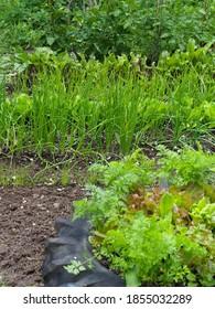 a small back yard vegetable plot growing salad crops.