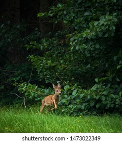 small bambi deer jumps and runs in forest meadow