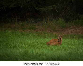 small bambi deer twins in grass on a forest clearing