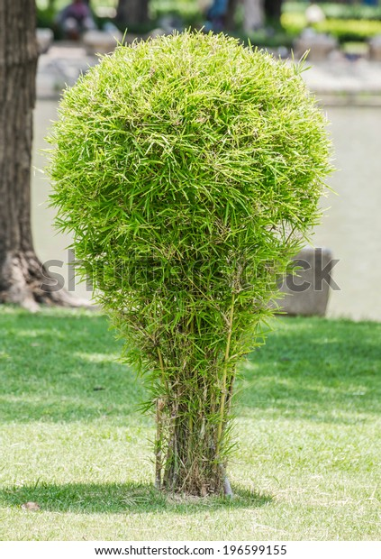 Small Bamboo Tree Garden Stock Photo Edit Now 196599155