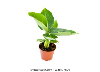 Small banana or truly tiny plant  with green leaves overlab grow straight in plastic brown orange pot on white background isoaled. Plant decorated at home, indoor plant