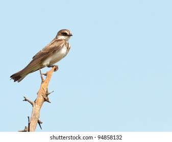 A small banded Martin from the side perched on the end of a dead branch looking towards camera with a clear blue sky background