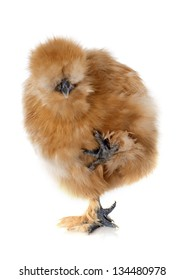 A small bantam silkie on a white background