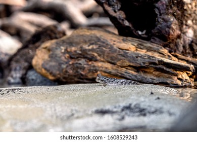 A small Barred Mudskipper (Periophthalmus argentilineatus) is well camouflaged against sand and mud among the roots of Mangrove Trees on the shores of Queensland, Australia.