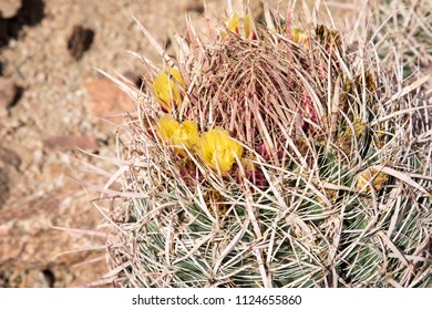Small barrel cactus with yellow fruit in Scottsdale, Arizona