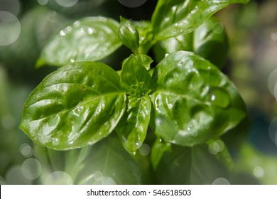 Small basil herb plant growing in a pot with bokeh background