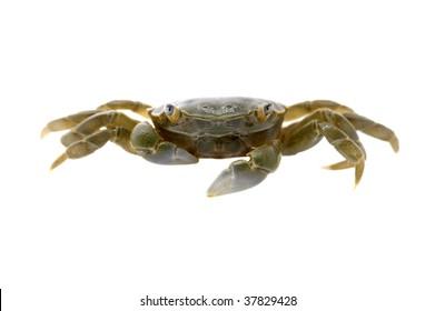 Small beach  crab facing the camera - green