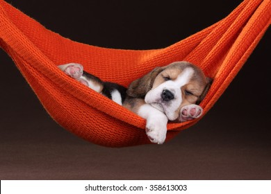 Small beagle puppy sleeping in a hammock