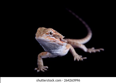 Small bearded dragon, pogona vitticeps, isolated on black background