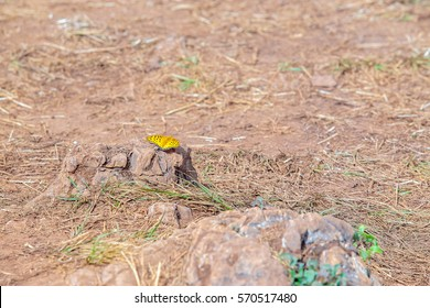 Small beautiful colorful yellow butterfly on the stone or rock of the mountain.