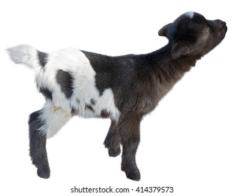 small beautiful goat on a white background