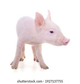 Small beautiful pig isolated on a white background.