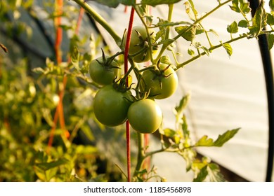 Small, beautiful tomatoes growing ina green house. Green house is located in a home garden.