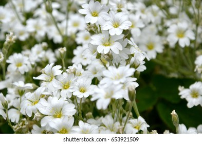 Small beautiful white flowers on meadow close up