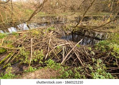 small beaver dam, beaver impoundments