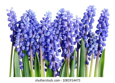 A small bed line of tender blue spring April hyacinths of Muscari. Isolated on white studio macro shot