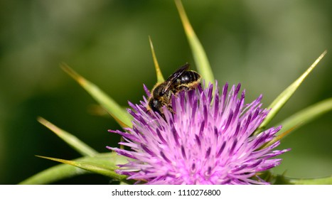 Small bee collecting pollen among the stamens of milk thistle in bloom