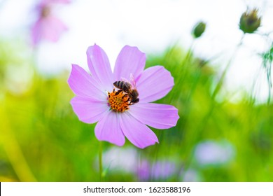 A small Bee eats a nectar from Cosmos bipinnatus flower