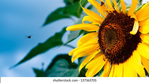 Small Bee Flying into a yellow Sunflower on a Bold Blue Sky