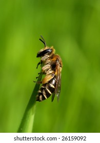 Small bee on a blade of grass