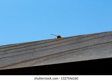 Small bee peeking over wooden fence