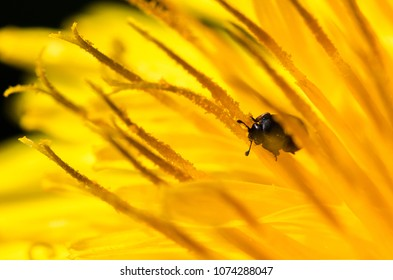 Small beetle on a bright yellow dandelion