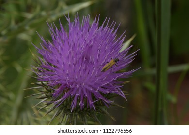 small beetle on Flower Burdock