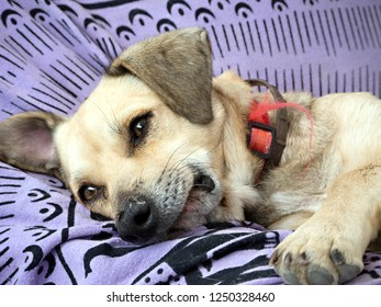 A small, beige dog lies on a purple-colored blanket, close-up of the head, eyes open, two flies on the nose