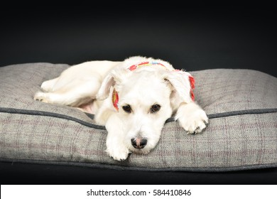 A small and beige dog on a gray cushion