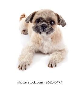 Small beige doggie of breed of a shih-tzu
