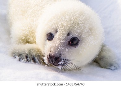 A small Belek (a three-week-old cub of a Greenland seal) with black beady eyes lies on the snow-white snow.