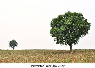 A small and big tree with new leaf growth standing in a pineapple field