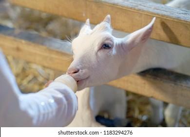 Bottle Fed Baby Goat Images, Stock Photos & Vectors