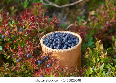 A small birch bark bucket filled with common bilberry (vaccinium myrtillus). Season: Summer 2019. Location: Western Siberian taiga.