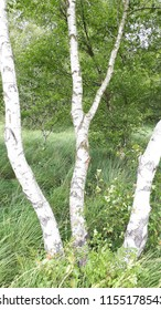 A small birch forest.