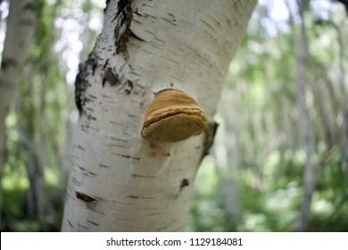 Small birch mushroom