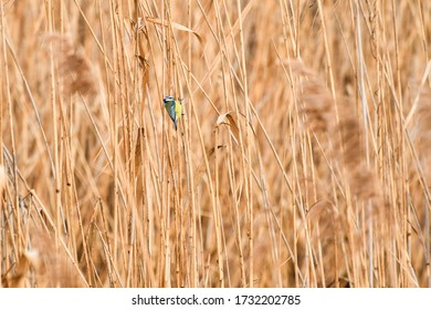 A small bird, the blue tit, sits on a dry reed on the banks of the river.