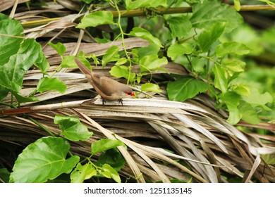 Small bird Common coral beak or Estrilda astril in Ilhabela, Brazil.