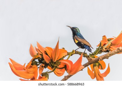 A small bird A full-length feature is about 10-15 cm long, curved beak. The inside is hollow tube And a long tongue in it. Ngmtgai used for feeding from flowers, a staple food.