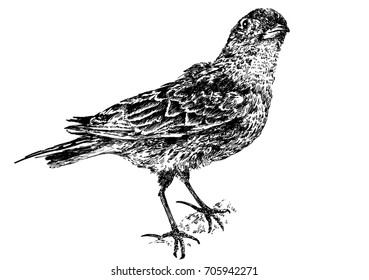Small bird isolated on white background. Black and white dashed style sketch.