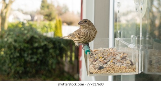Small bird looks back between feeding on a window mounted feeder