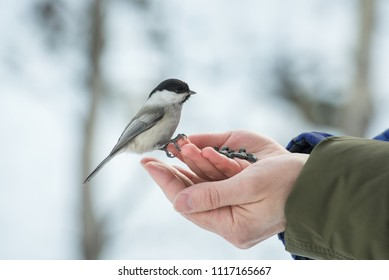 A small bird poecile montanus eats sunflower seeds from a hand in the forest in winter